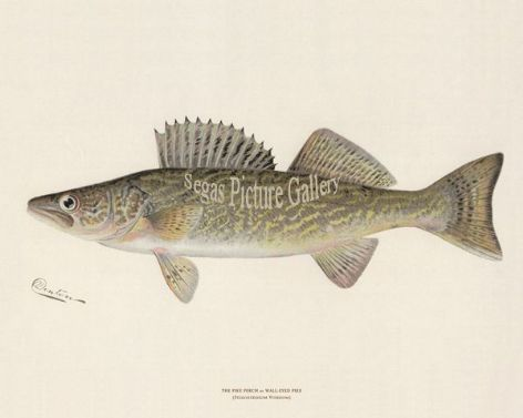 Fish Print of the Pike Perch or Wall-Eyed Pike by Sherman F Denton (1902)